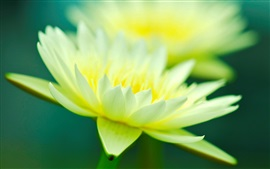 Preview wallpaper Green yellow petals, water lily close-up, bokeh