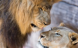 Preview wallpaper Lion, lioness, love, couple