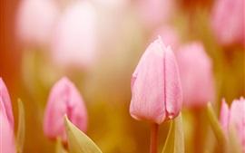 Des tulipes roses, fleurs, bourgeons, flou, le printemps