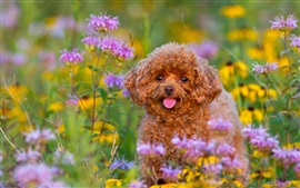 Poodle, puppy, flowers
