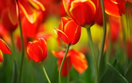 Tulipes rouges, fleurs, bourgeons, tiges, printemps, bokeh