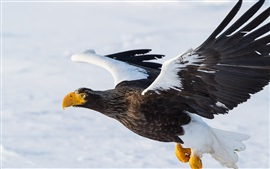 Preview wallpaper Steller's sea eagle, predator, bird flying, wings