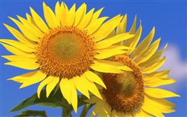 Preview wallpaper Sunflowers, petals, blue sky