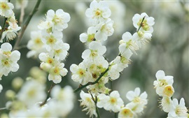 Preview wallpaper Twigs, white cherry flowers, blossom, spring, bokeh