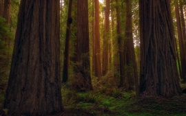 Preview wallpaper USA, California, redwoods, forest, trees