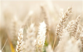 Preview wallpaper Wheat field, bokeh