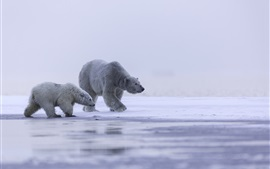 Preview wallpaper Alaska, Arctic, polar bear family, cold