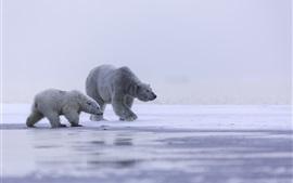 壁紙のプレビュー 寒いアラスカ、北極、シロクマファミリー、