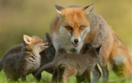 Preview wallpaper Foxes, cubs, motherhood, family