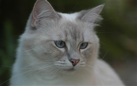 Preview wallpaper Gray cat, face, eyes, bokeh