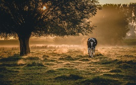 Preview wallpaper Morning scenery, fog, cow