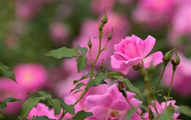 Preview wallpaper Pink rose, flowers, buds, bokeh