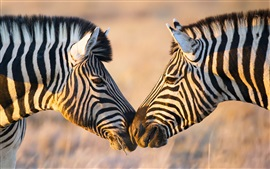 Preview wallpaper Africa, two zebras, face to face
