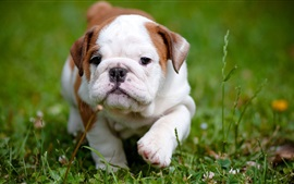 Preview wallpaper Bulldog, cute puppy, grass