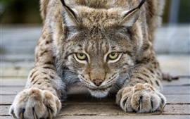 Preview wallpaper Cute lynx, cat, eyes, claws, face
