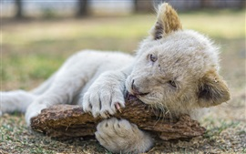 Preview wallpaper Lion cub playing, white