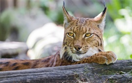 Preview wallpaper Lynx close-up, cat, timber
