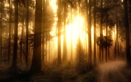 Misty forest, trees, sun rays
