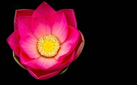 loto rosa flor macro, fondo negro