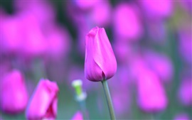 Розовый тюльпан цветы, стебель, лепестки, боке