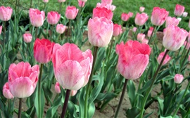Preview wallpaper Pink tulips, flowers field