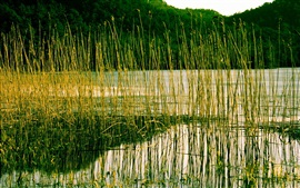 Preview wallpaper River, reeds, plant, water