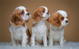 Preview wallpaper Spaniels, cute three puppies