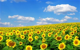 Sunflowers, summer, sky, clouds