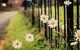Preview wallpaper White chamomile flowers, daisy, fence, bokeh