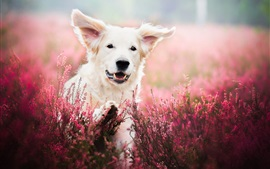White dog, face, lavender, flowers