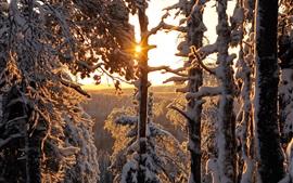 Зимний лес, густой снег, солнечные лучи, Финляндия