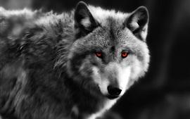 Wolf close-up, red eyes, predator