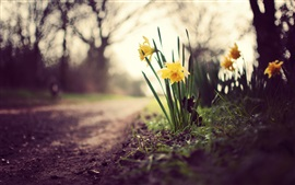 Preview wallpaper Yellow daffodils, flowers, grass, ground, path