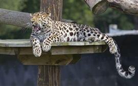 Preview wallpaper Amur leopard, predator, rest, yawns