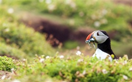 Preview wallpaper Birds close-up, puffin eating fish