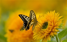 Butterfly, wings, sunflower, petals