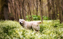 Cute retriever, forest, grass, flowers