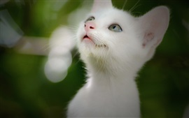 Preview wallpaper Cute white kitten, look up