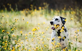 Preview wallpaper Dalmatians, dog, wildflowers