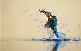 Preview wallpaper Kingfisher beautiful dance, water, splash, catch fish