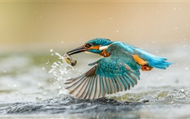 Kingfisher catching fish, wings, water splashes, drops