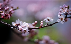 Preview wallpaper Pink cherry flowers, petals, blurry, spring