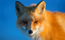 Preview wallpaper Red fox, portrait, eyes, blue background