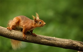 Esquilo, ramo, bokeh verde