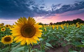 Girasoles, verano, atardecer, puesta del sol, nubes