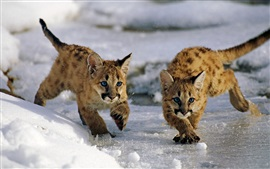 Preview wallpaper Uinta National Forest, Utah, USA, mountain lion cubs, winter, snow