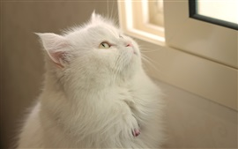 Preview wallpaper White cat look window
