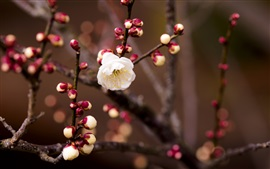 Preview wallpaper White cherry flowers, buds, twigs, blurring