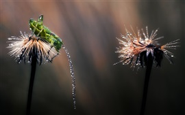 Preview wallpaper After rain, grasshopper, dandelion, water drops