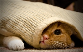 Preview wallpaper Cat under the blanket